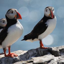 Puffins, Farne Islands, Northumbria