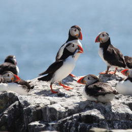 Puffins, Farne Islands, Northumbria