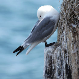 Kittiwake, Farne Islands, Northumbria
