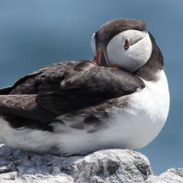 Puffin, Farne Islands, Northumbria