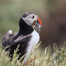 Puffin, Farne Islands, Northumbria