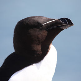 Razorbill, Farne Islands, Northumbria