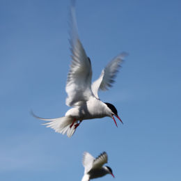Arctic Tern, Farne Islands, Northumbria