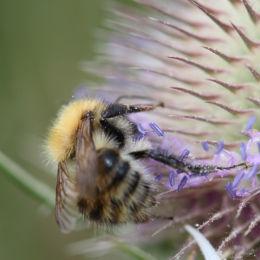 Unidentified Bee, Otmoor RSPB Reserve