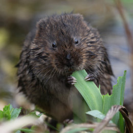 Water Vole, Titchwell, North Norfolk