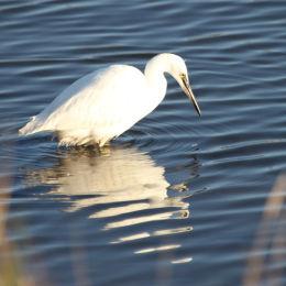 Little Egret, Titchwell RSPB, North Norfolk