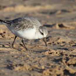 Sanderling, Titchwell Beach, North Norfolk