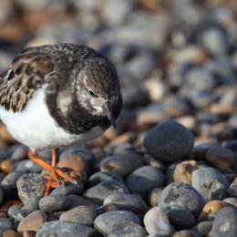Turnstone, Salthouse Beach, North Norfolk