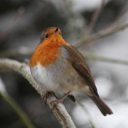Robin, back garden