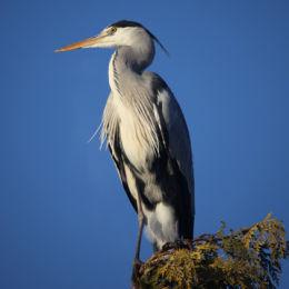 Grey Heron, back garden
