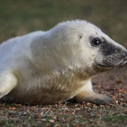 Grey Seal Pup, Blakeney Point, North Norfolk