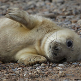 Grey Seal Pup, Blakeney Point, North Norflok