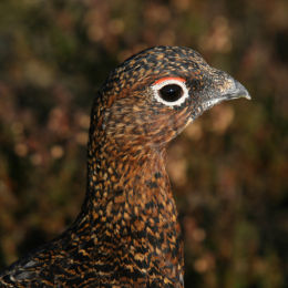 Red Grouse, Stiperstones, Shropshire