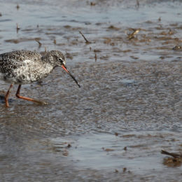 Spotted Redshank, Titchwell RSPB, North Norfolk