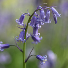 Bluebells, Dovers Hill, Cotswolds