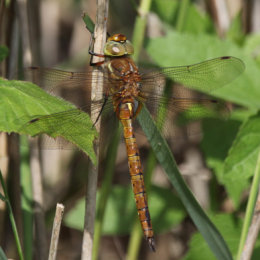 Norfolk Hawker, Hickling Broad, Norfolk