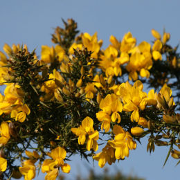 Gorse in flower, Marsh Lane Nature Reserve