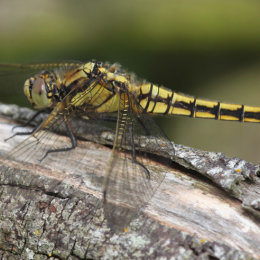 Black-tailed Skimmer, Hickling Broad, Norfolk