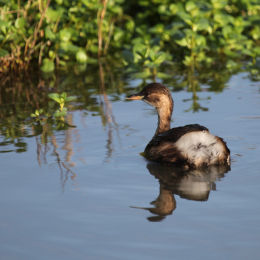 Little Grebe, Cley NWT, North Norfolk