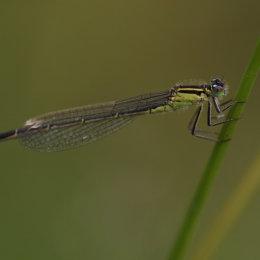 Azure Damselfly (female green form), Marsh Lane