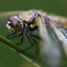 Four Spotted Chaser in close-up, Marsh Lane