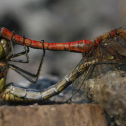 Common Darter mating