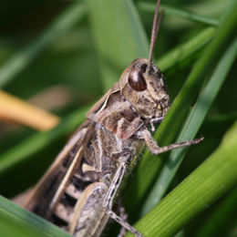 Common Field Grasshopper, Marsh Lane Nature Reserve