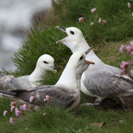 Fulmars on cliff ledge, Holy Island, Northumbria