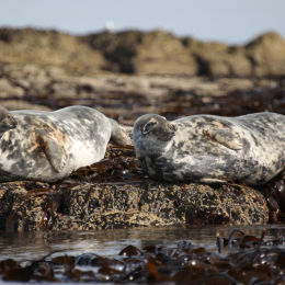 Grey Seals, Farne Islands, Northumbria