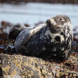 Grey Seal, Farne Islands, Northumbria
