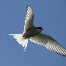 Arctic Tern, Farne Islands, Northumbria