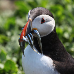 Puffin with a beak full of Sandeals