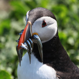 Puffin with Sandeals