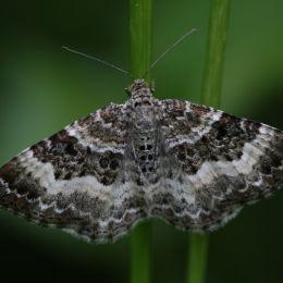 Carpet Moth, Highnam Woods, Gloucestershire