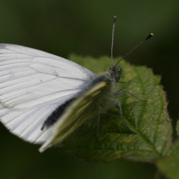 Green-Veined White Butterfly, Highnam Woods, Gloucestershire