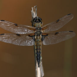 Four Spotted Chaser, Minsmere RSPB, Suffolk