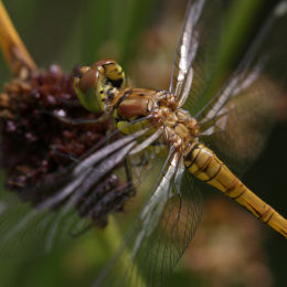 Common Darter (immature female)