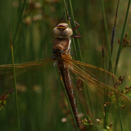 Brown Hawker, just emerged with one wing missing