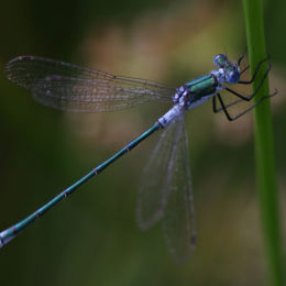 Common Emerald Damselfly (male)
