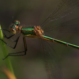 Common Emerald Damselfly (female)