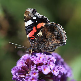 Red Admiral (underwing)