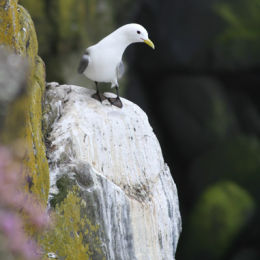 Kittiwake on the edge, Dunstanburgh, Northumbria