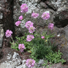Thrift, St Abbs Head, Northumbria