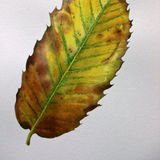 autumn leaves: sweet chestnut solo