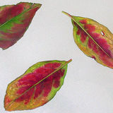 autumn leaves: spindle
