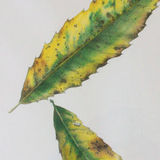 autumn leaves: sweet chestnut duo