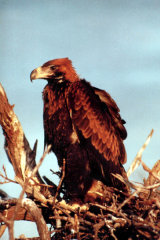 MH0112 Wedge-tailed Eagle RS