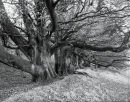Old Beech trees, on Martinsell hill