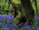 Old tree and Blue Bells, Ghopher Wood
