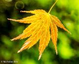 Acer Palmatum leaves,Harcourt Arboretum Stourhead